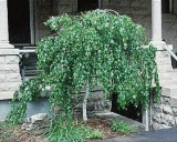 Лиственные растения для сада